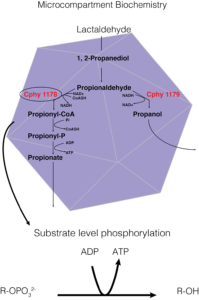 Figure 1. A way of showing the specific biochemistry inside the Clostridium phytofermentans fucose/rhamnose BMC. In this instance, the carbon source is lactaldehyde, Cphy1178 is our aldehyde dehydrogenase enzyme of interest, and the generation of ATP from substrate level phosphorylation is the BMCs main purpose in the cell.